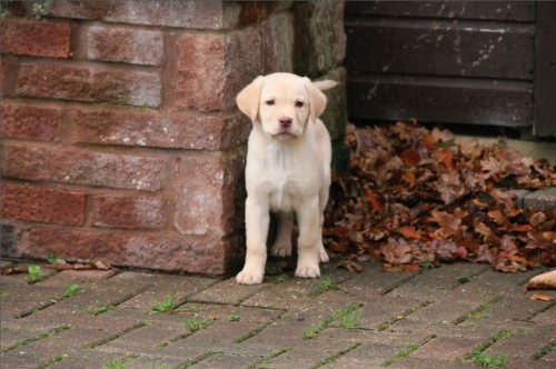 Yellow Labrador puppy by IDS.photos (CC Licence)