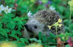 Spring Hedgehog