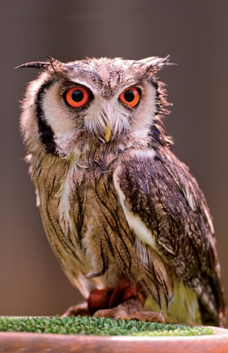 Cute Owl, CC BY-ND 2.0 Licence Photo by Tambako the Jaguar