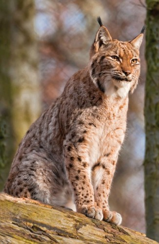 Sitting lynx by Tambako The Jaguar (CC Licence)