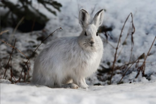 Snowshoe Hare- Alert by Tim Rains, Denali National Park and Preserve (CC Licence)