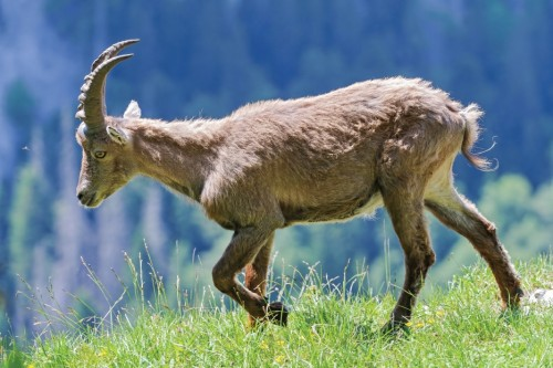 Walking ibex by Tambako the Jaguar (CC Licence)